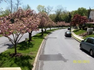 Cherry Blossom trees on Endlich Ave.